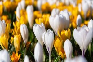Jarní kobereček