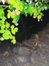 Maliny na máslovické chatě