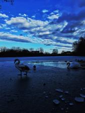 Labuť na ledu