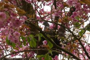Sakura a holoubek