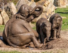 Sloní bahenní koupele
