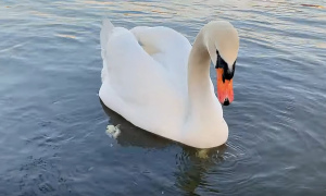 Labut/Swan