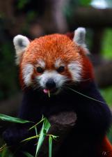 Roztomilá Panda červená