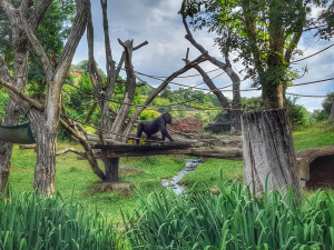 Gorila na vychazce
